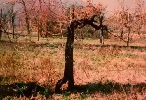 Viti secolari vigne Le Orme